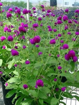 globe amaranth - cutting garden