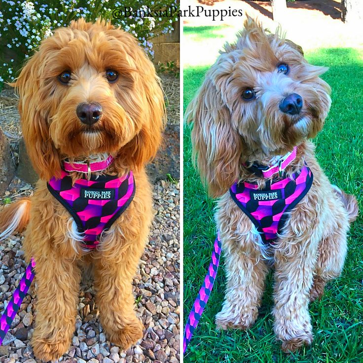 The gorgeous Marley is modelling our new doggy accessories!   She is wearing our harness and leash in 'playful pink' and she looks super trendy! Our patterns and colours are designed specifically so Banksia Park Puppies can identify each other when walking down the street or playing at the park! You never know...you might be able to find a sibling or relative when out and about!