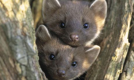 Baby American Marten Baby Animals Pinterest Babies