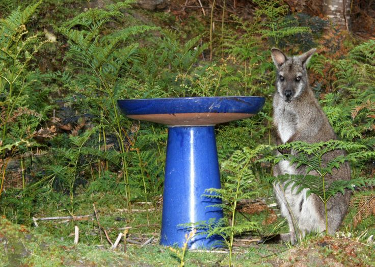 """Kangie"" the Bennetts Wallaby is our latest arrival at Huon Bush Retreats. Hand raised as an orphan, she is now learning the ways of the wild. Until she learns where the stream is, she seems content with drinking from the bird bath. http://www.huonbushretreats.com/?q=node/54"
