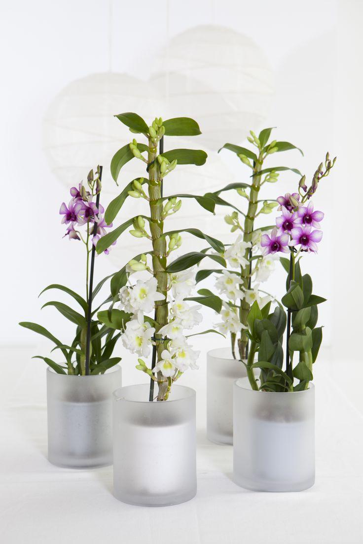 Dendrobium Nobile orkidé