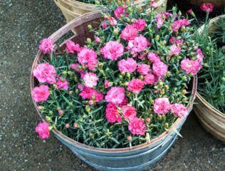 25 best ideas about dianthus caryophyllus on pinterest red carnation carnation flower ideas. Black Bedroom Furniture Sets. Home Design Ideas