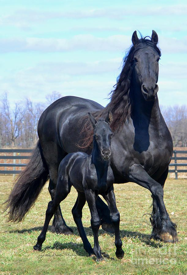Beautiful Horses & Barns Beautiful                  Friesian mom and baby