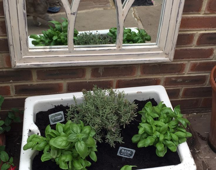 Basil planted in butlers sink