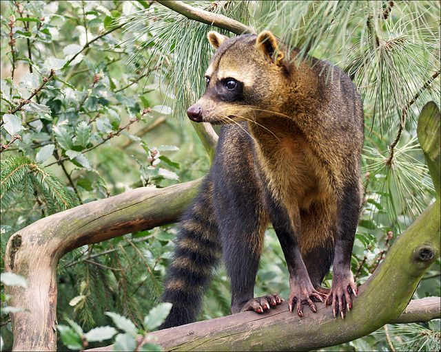 The Crab-eating Raccoon (Procyon cancrivorus) is a species of raccoon native to marshy and jungle areas of Central and South America (including Trinidad and Tobago). It is found from Costa Rica south through most areas of South America east of the Andes down to northern Argentina and Uruguay.