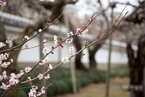 Plum 弘道館公園のウメ kodokan plum ウメ 梅 弘道館公園 水戸 mito prunusmume バラ科 rosaceae prunus サクラ属 春 spring flower plant
