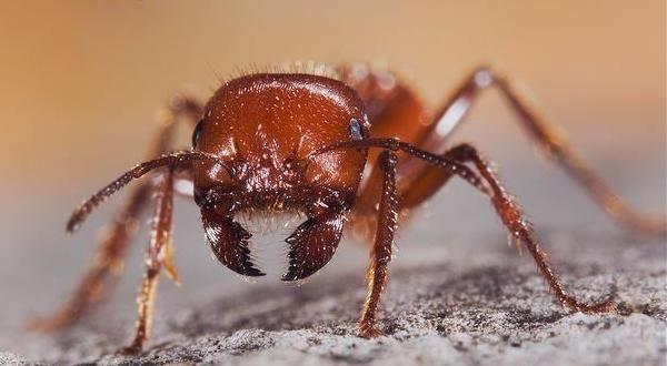 Formiga Vermelha entre as picadas de insetos mais dolorosas do mundo
