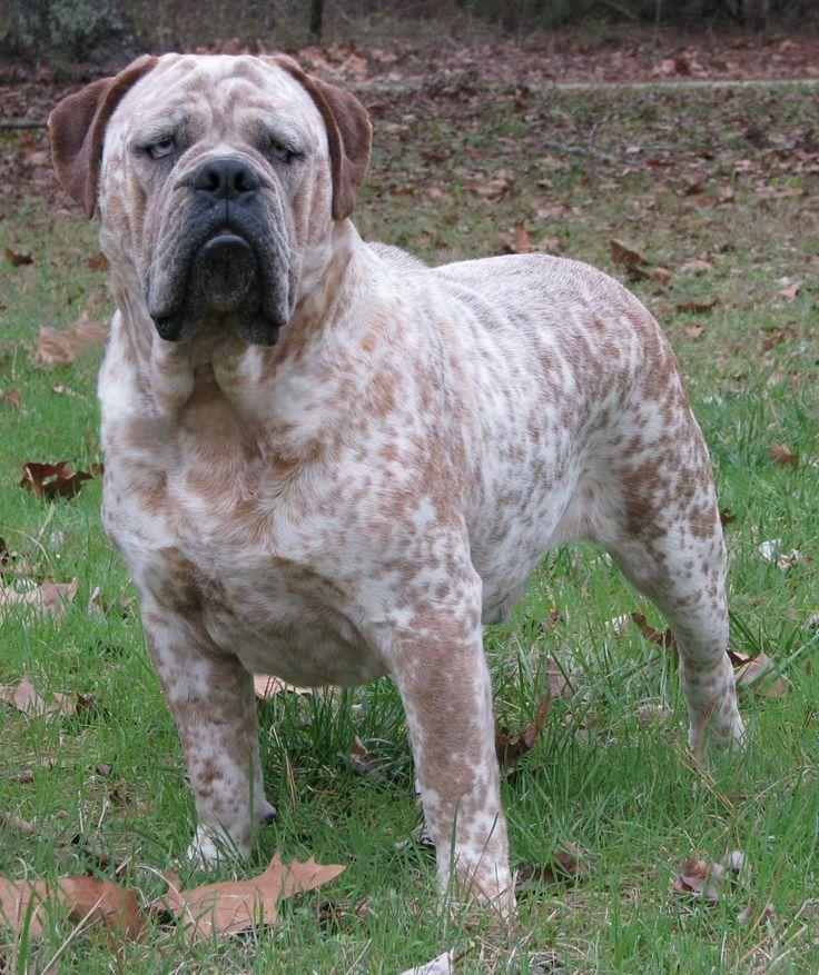 red Merle, Old English Bulldog Mastiff | Bulldog inglés