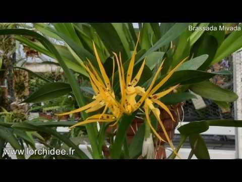 Brassada Mivada - Orchidée Vacherot et Lecoufle - Lorchidee.fr