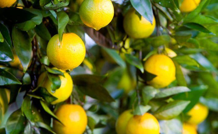 How To Grow A Thriving Lemon Tree Eco Outdoor Eco Grow Lemon Outdoor Thriving Tree Citrus Trees Meyer Lemon Tree Lemon Tree Potted
