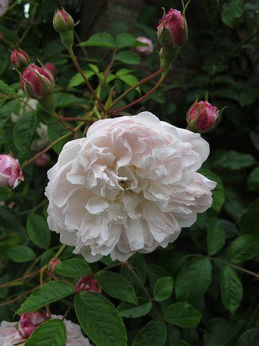 Princess Louise - Rambling Rose