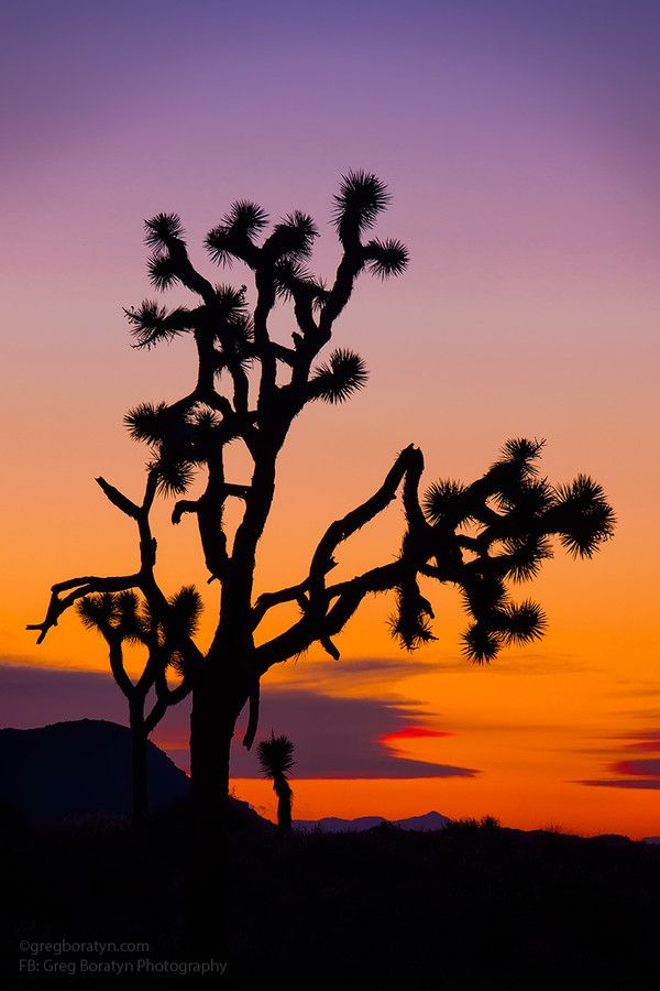 Sunset in Joshua Tree, Joshua Tree National Park, California