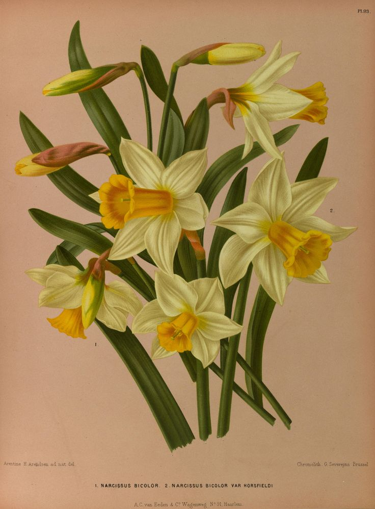 Beautiful daffodil image from our Flowers, Fruit, Vegetables and Seeds public domain DVD.  Click on the picture for more details.