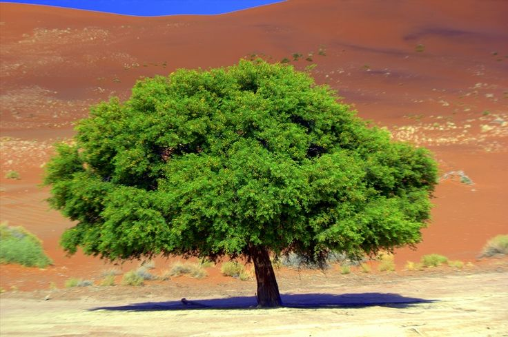 Trees are scarce in the Namib-Naukluft National Park of #Namibia #Africa