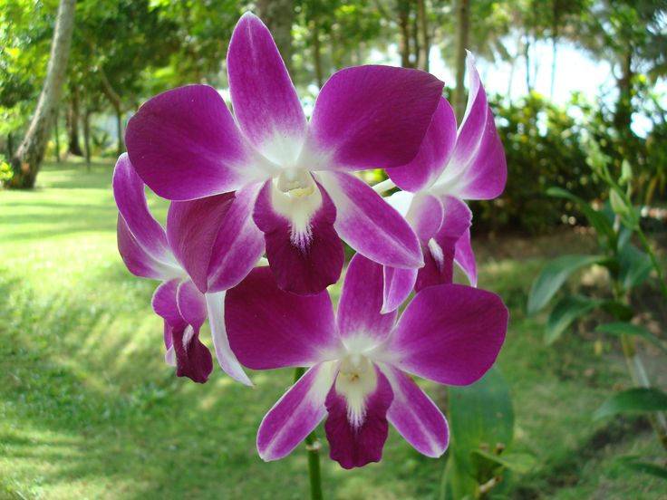 Фиолетовые орхидеи Тайланда