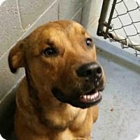 Pictures of STEEL a Labrador Retriever/Pit Bull Terrier Mix for adoption in Rogers, AR who needs a loving home.