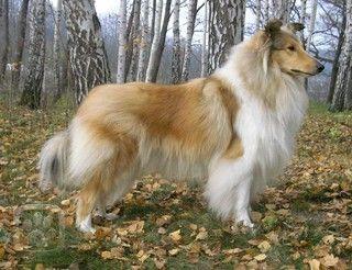 Kolie dlouhosrstá - Plemena psů, atlas psů - Kolie dlouhosrstá