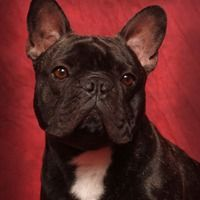 Rescuing One Little French Bulldog at a Time with the French Bulldog Rescue Network by Little Pampered Dog.  You can listen to the episode right here on Pinterest by pressing the play button on the image!  The show notes associated with this episode can be found at http://littlepampereddog.com/lpd-002-saving-one-little-french-bulldog-at-a-time-with-joan-cleveland-of-the-french-bulldog-rescue-network/