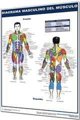 Male Muscle chart in Spanish: Diagrama masculino del musculo- Laminated