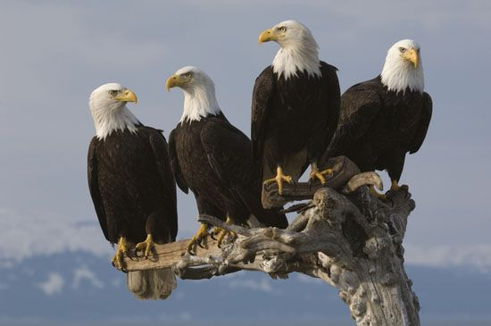 majestic bald eagles