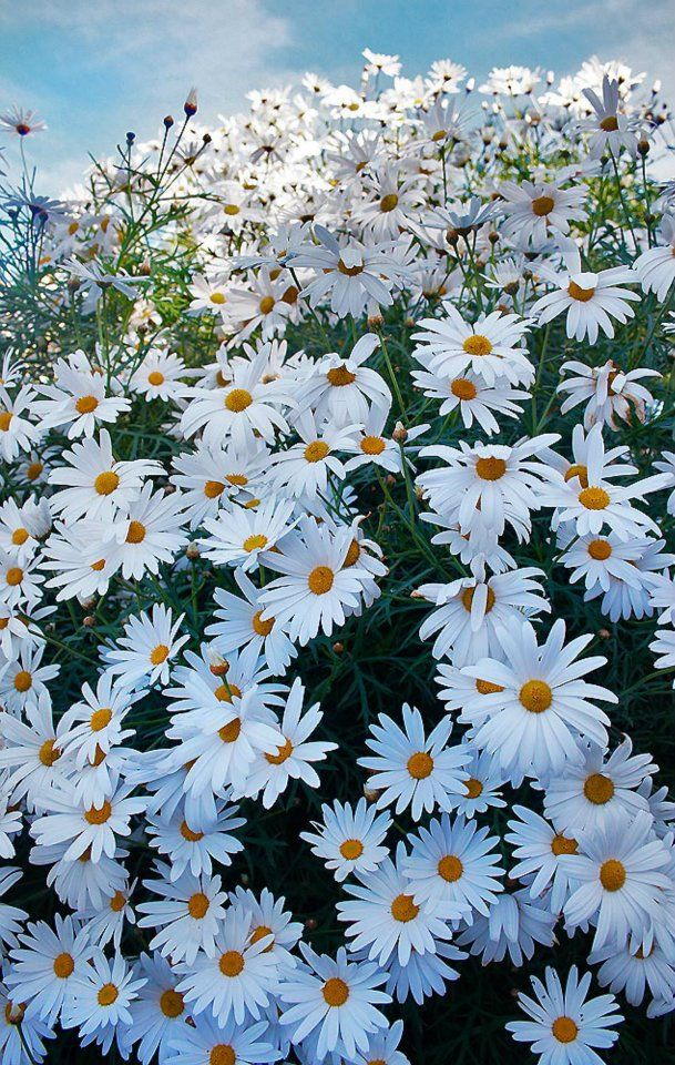 daisies - I love shasta daisies the best, they are more compact than the wild variety and don't require staking.