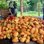 ECUADOR - Rogue Chocolatier