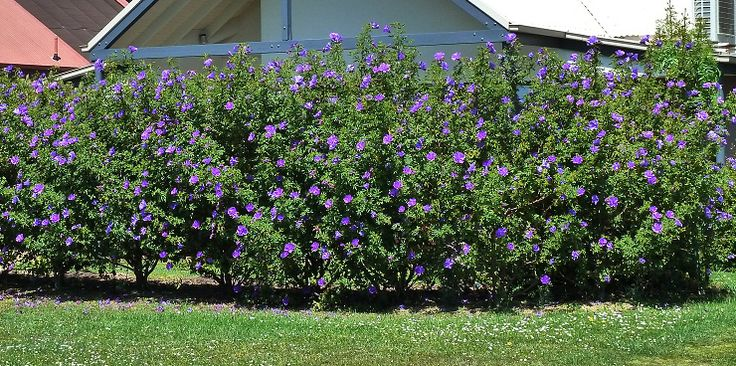 Alyogyne Hakeifolia Hibiscus Like Flower Hedge On The