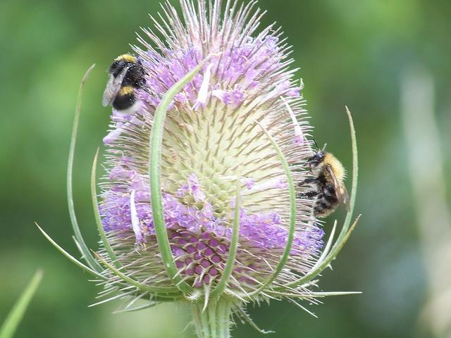 Teasel (Dipsacus sp.)