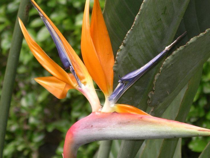 Stralitzia in Andalucia garden