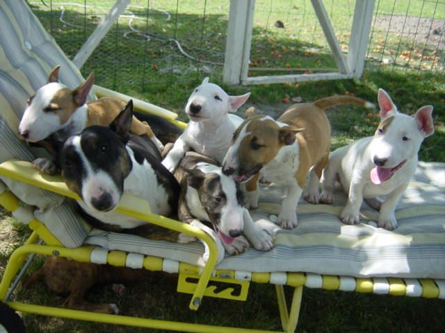 Beautiful litter of mini bull terriers!! I want them all.