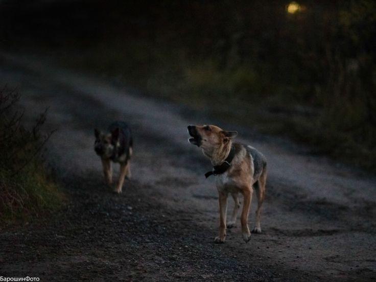 ночь собаки