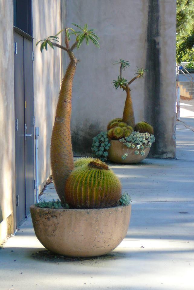 I wish ... Pachypodium & cacti potted
