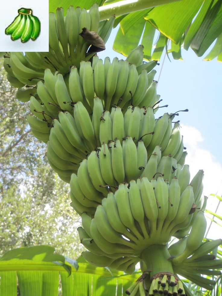 59 best Bananas images on Pinterest Bananas Exotic fruit and Plants