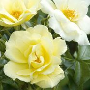 Rose Bright Smile Floribunda