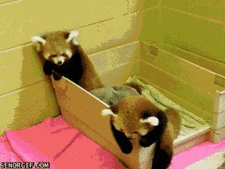 Pandas rojos. Cachorros adorables.