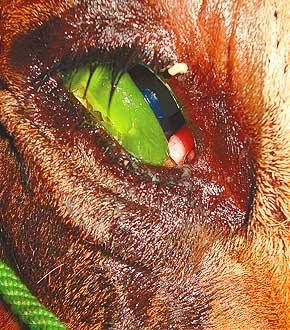 The UTTER depravity of man. The photograph is of a bull on board a truck being transported for slaughter.The green object is a piece of green chilly which has been stuffed in to ensure the animal does not lie down due to the burning sensation in its eye or eyes. www.facebook.com/photo.php?fbid=609388042446992&set=a.593822567336873.1073741826.100001274045030&type=1&ref=nf