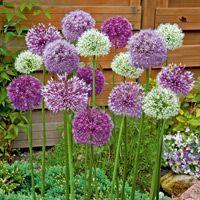 Sortiment Riesenzierlauch (Allium x hybridum) - Zierlauch von Gärtner Pötschke