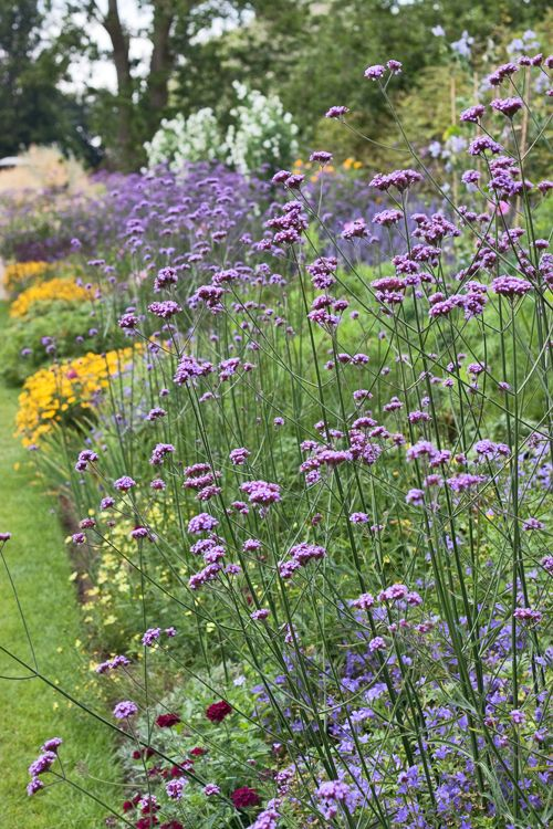 Verbena-bonariensis-Flowerona--love these they keep reseeding, tall butterfly…