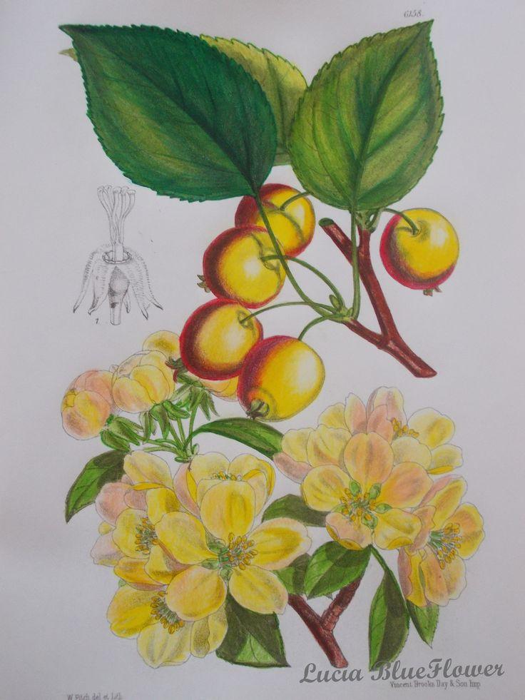 Pyrus prunifolia