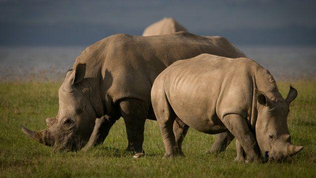 RPA ewakuuje nosorożce. To sposób na walkę z kłusownictwem. http://tvnmeteo.tvn24.pl/informacje-pogoda/ciekawostki,49/rpa-ewakuuje-nosorozce-to-sposob-na-walke-z-klusownictwem,144393,1,0.html