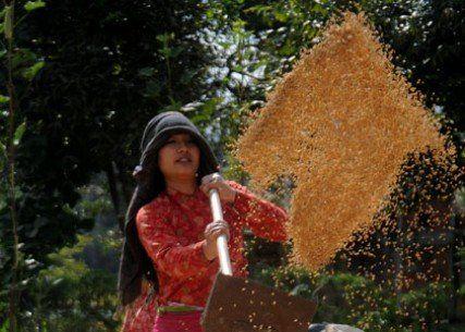 Harvesting Rice (धान बताउँदै)