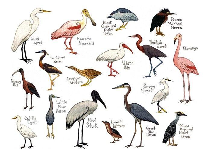 Water Birds Field Guide Style Watercolor Painting Print Herons, Egrets, Spoonbill, etc. $30.00, via Etsy.