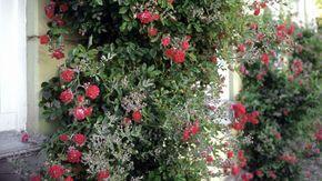 """Mehltau an Rosen ist ein beharrlicher Pilz, der die Pflanzen insbesondere bei trockenem, warmem Wetter befällt – daher ist er auch als """"Schönwetterpilz"""" bekannt. Hier lesen Sie mehr über echten und falschen Mehltau, wie Sie der Rosenkrankheit vorb..."""