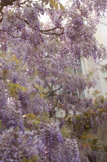 등나무 영국 리치몬드공원에서