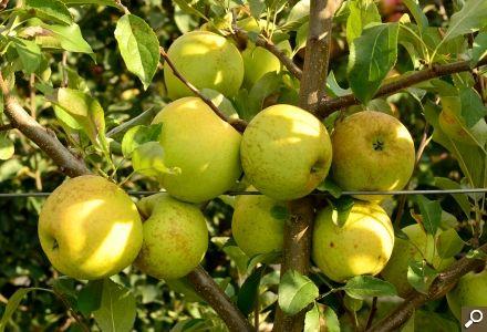 Cum se obţin mere Golden Delicious mari   Paradis Verde