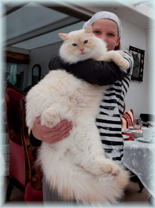 giant ragdoll cats Google Search Ragdoll cat, Ragdoll
