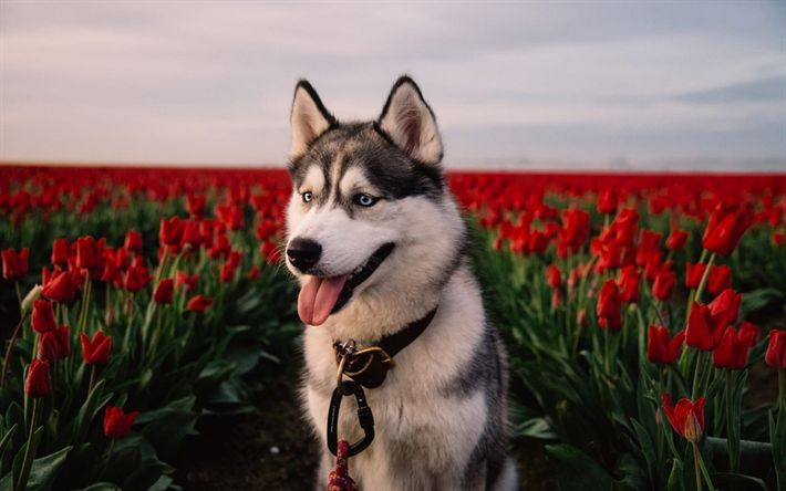 Download wallpapers Husky, friendly dog, red tulips, cute animals, dogs