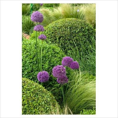 Allium, Buxus and Stipa tenuissima