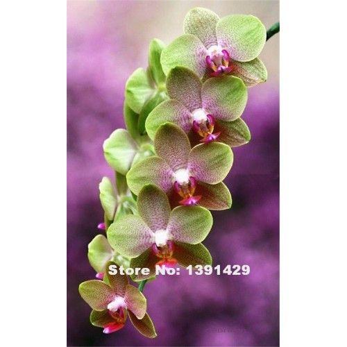 Orkidé grön