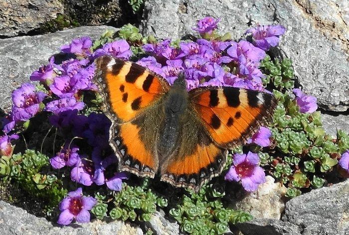 Ein Schmetterling (Kleiner Fuchs) auf über 3000 m. ü.... [hikr.org]
